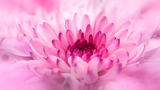 chrysanthemum-805712_640